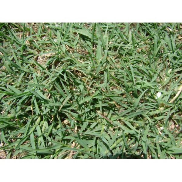 Γκαζόν Ουγκάντα (Bermuda Grass)