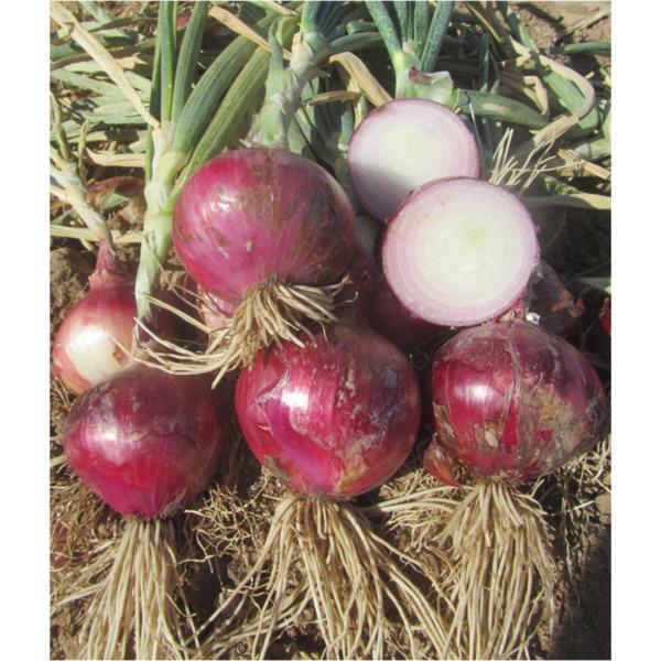 Κρεμμύδι Red Morada Ortis