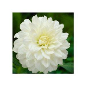 Ντάλια Decorative White Onesta