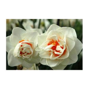 Νάρκισσοι Flowerdrift
